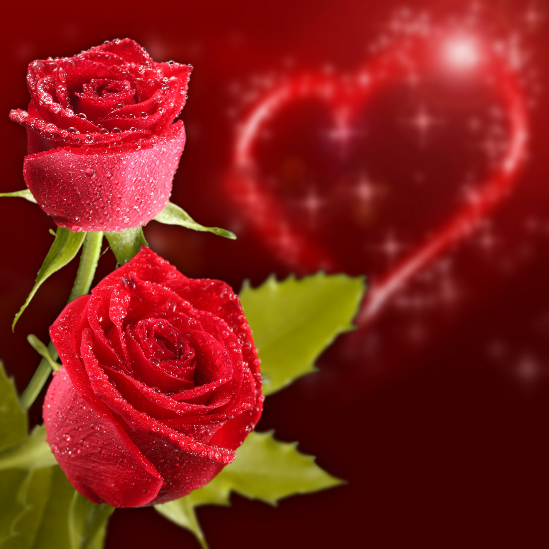 Valentine s Day Roses Colored background Two Red 1920x1920