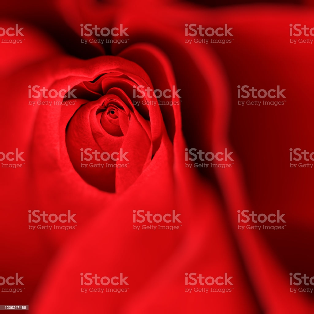 beautiful rose background for valentines day gm