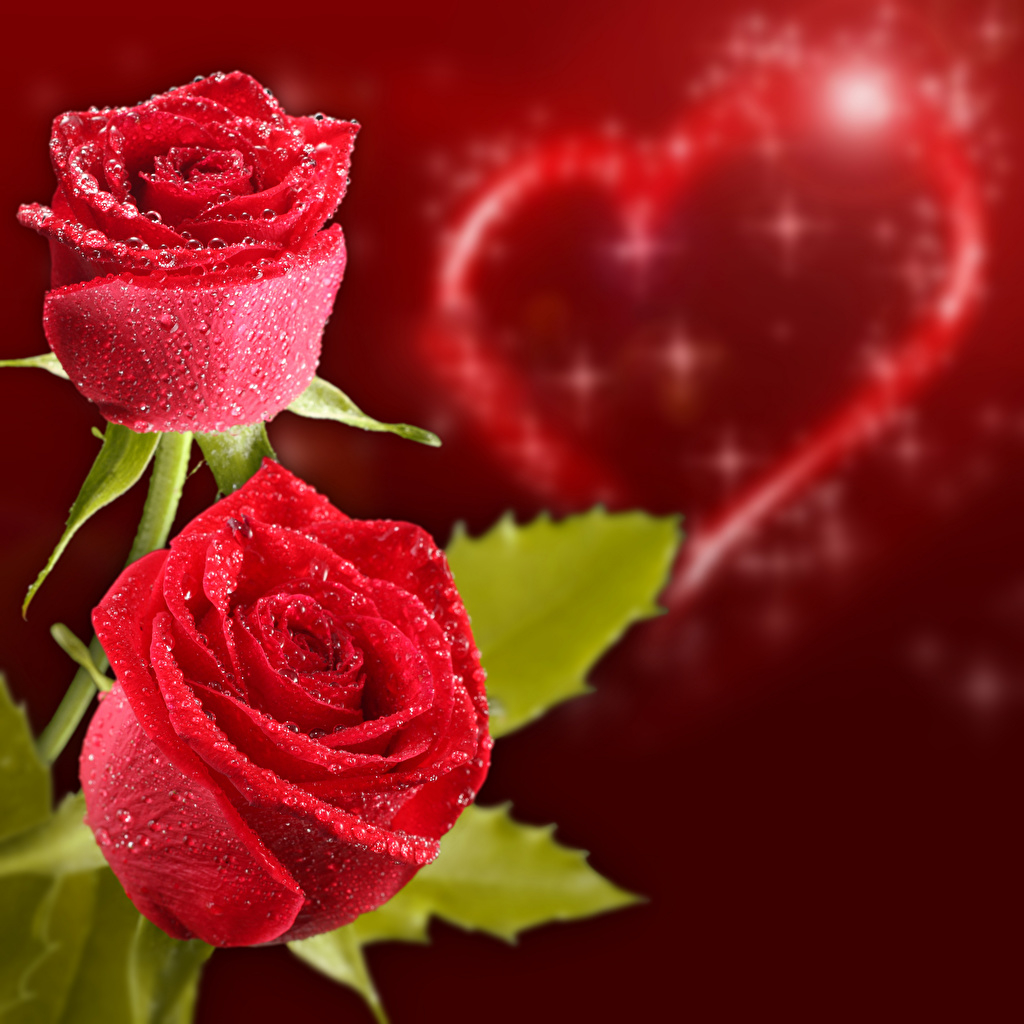 Valentine s Day Roses Colored background Two Red 1024x1024