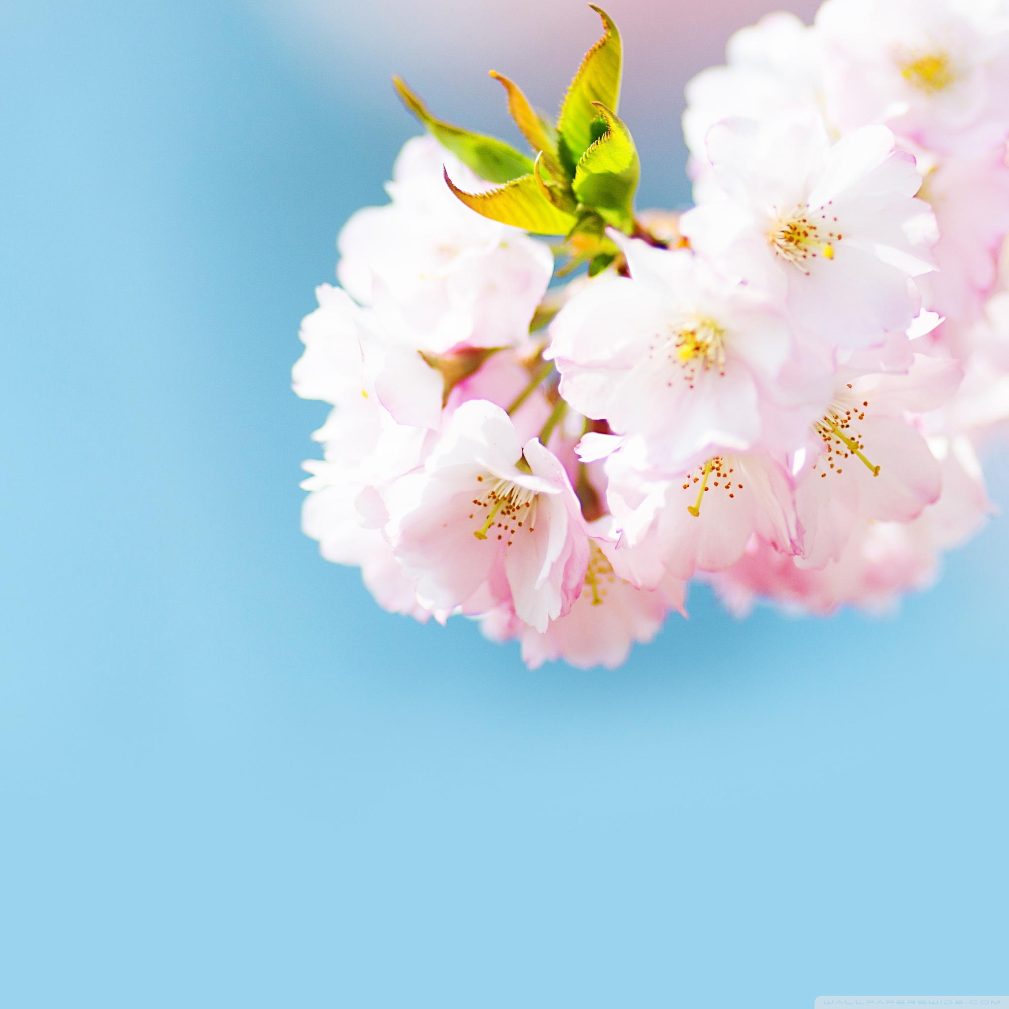 cute cherry blossom wallpapers
