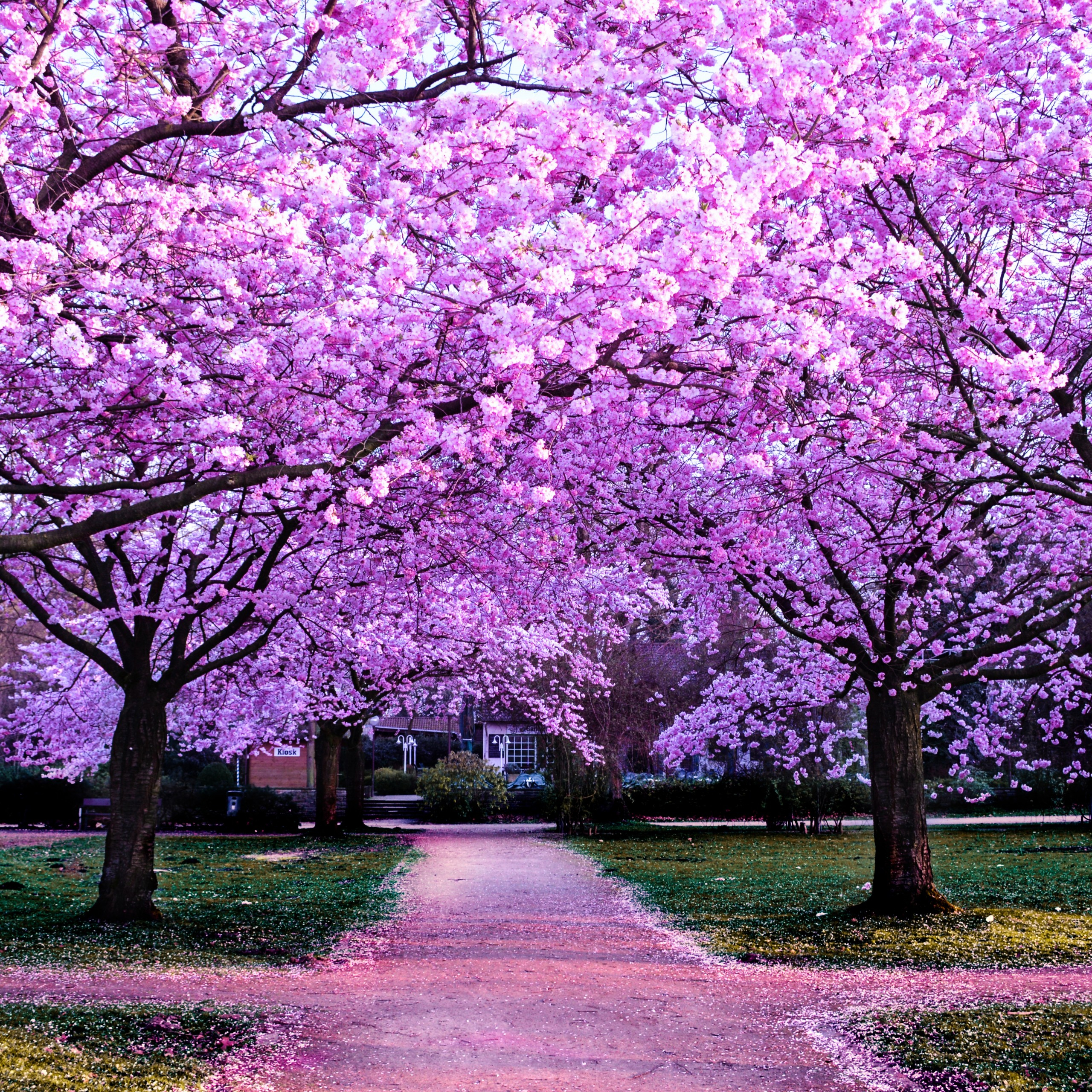 cherry blossom trees purple flowers pathway park floral 2560x2560 3300