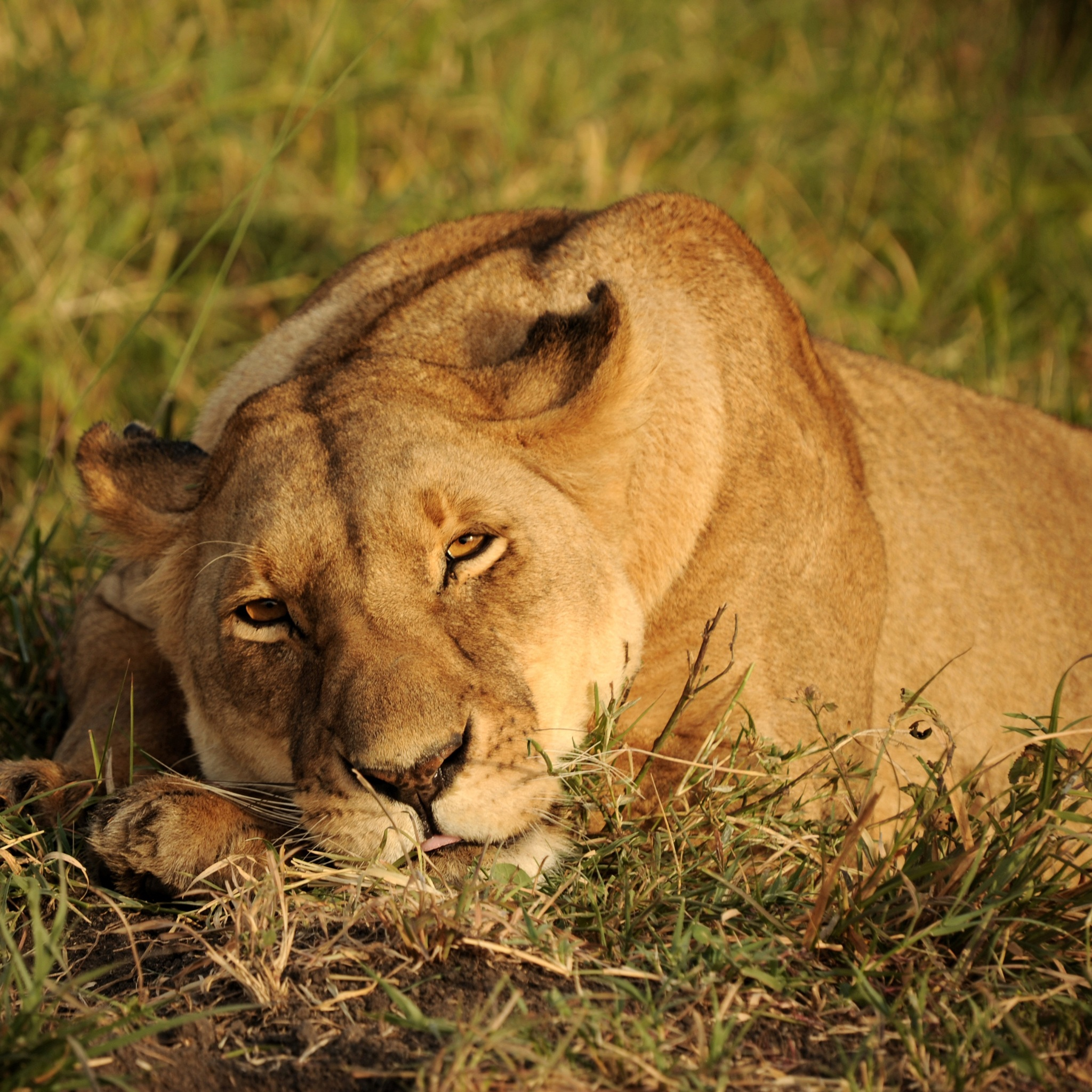 africa lion looking 4k