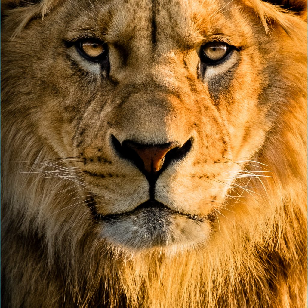 lion wallpaper android kolpaper awesome free hd wallpapers lion wallpaper 4k