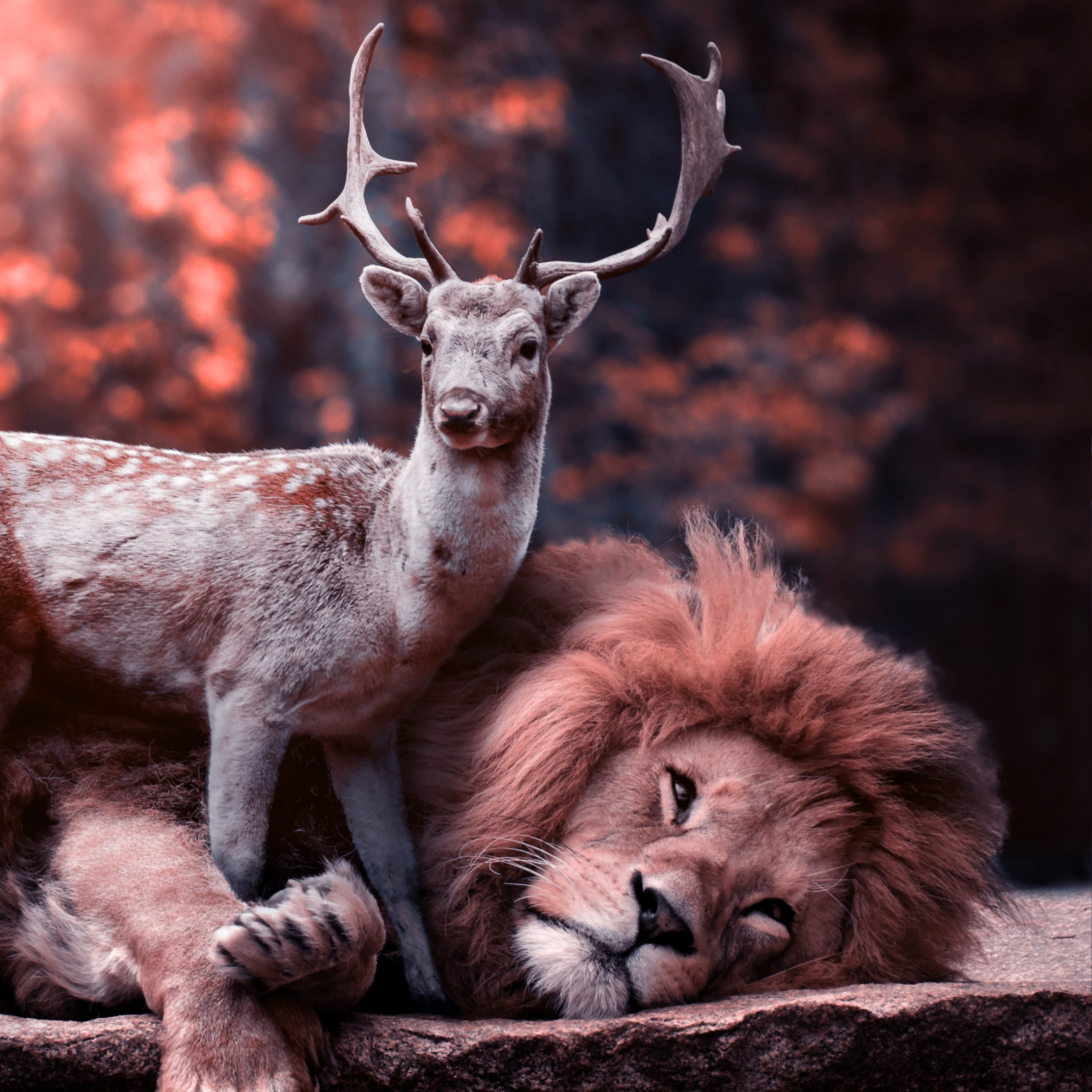 the lion and the deer 4k wallpaper 2224x2224 mm 90