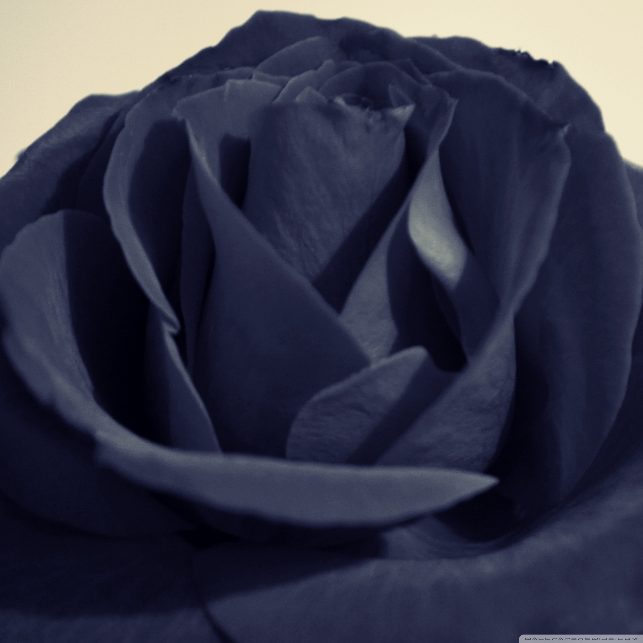 black rose 2 wallpapers