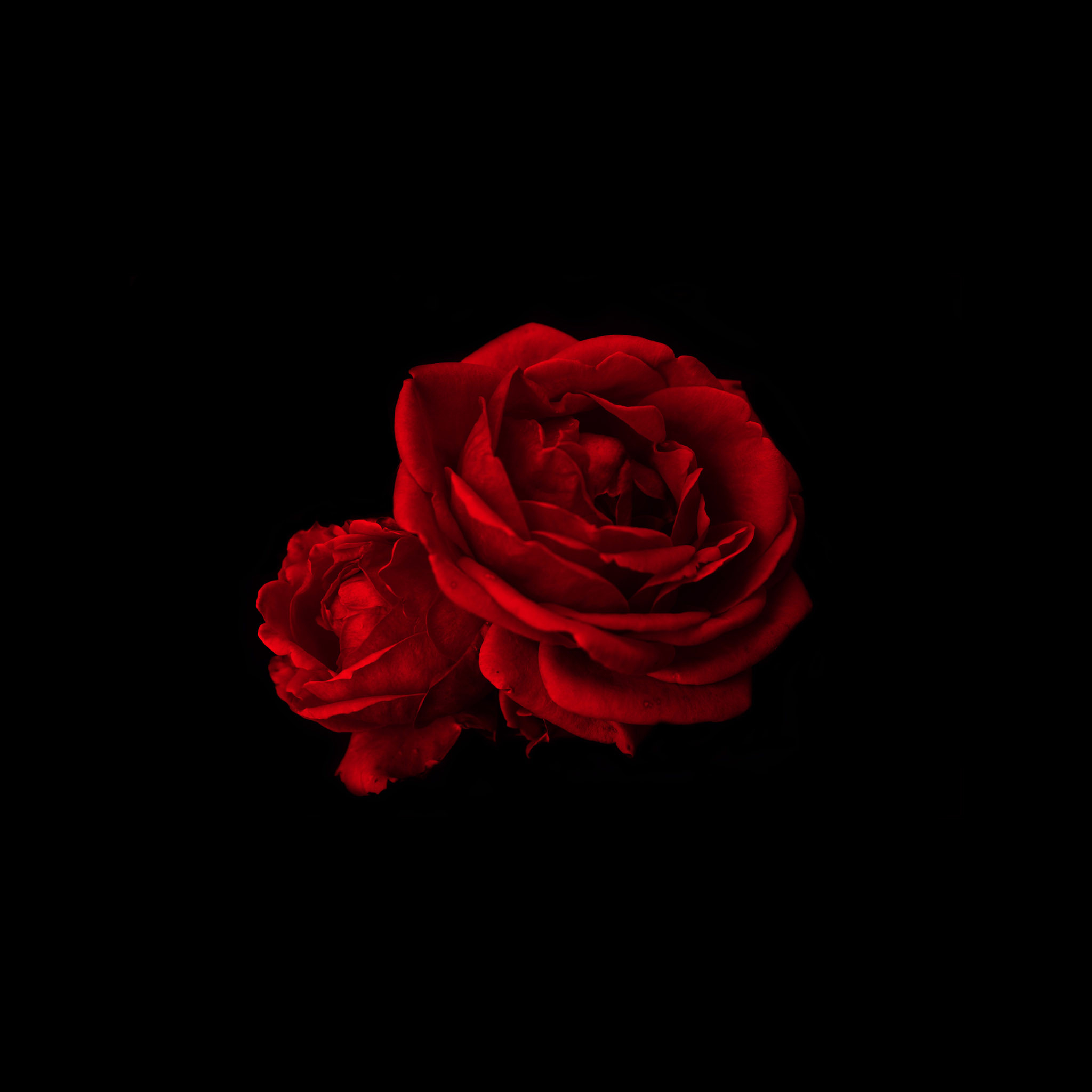 red rose iphone wallpaper 2048x2048 for hd