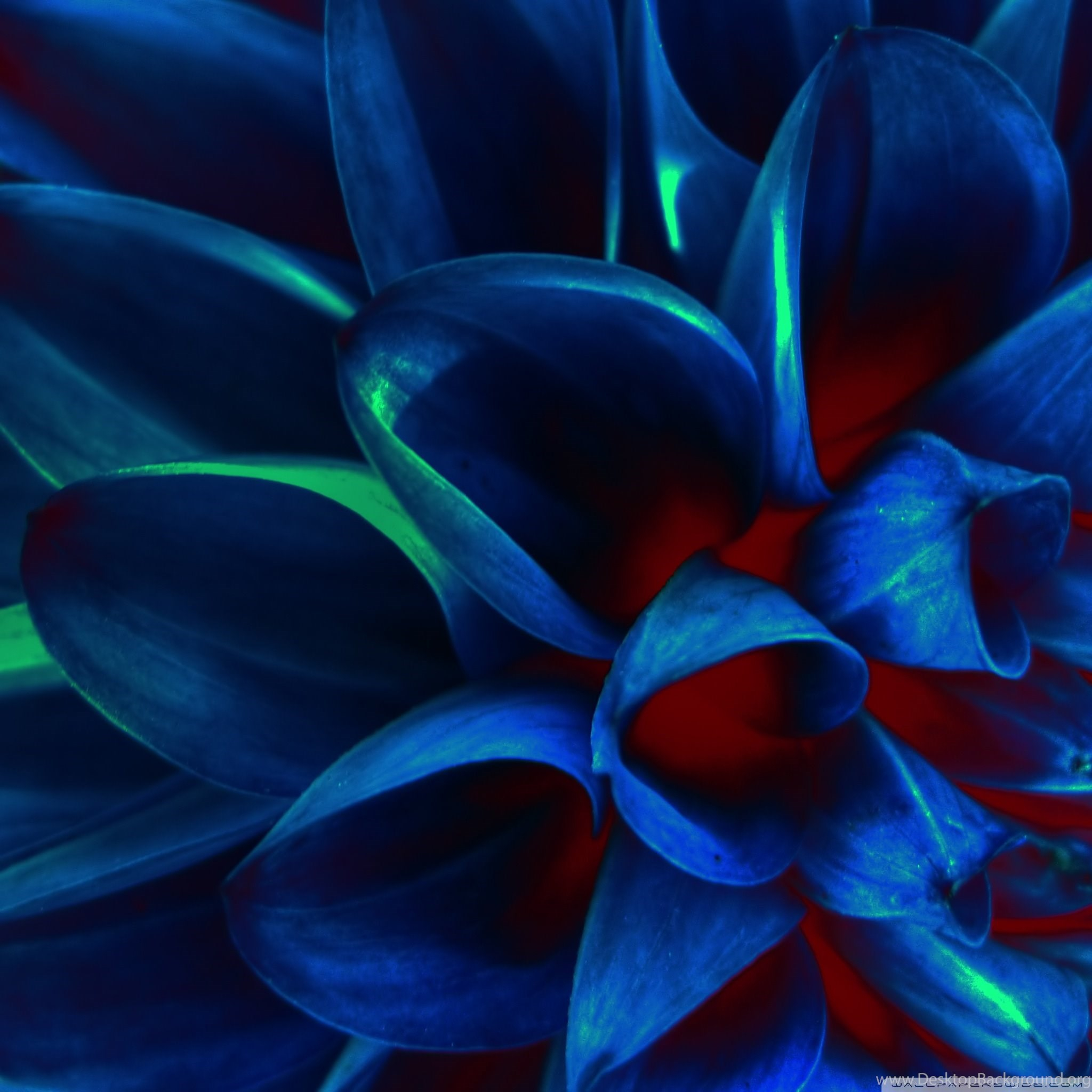 blue rose wallpapers hd pictures 9