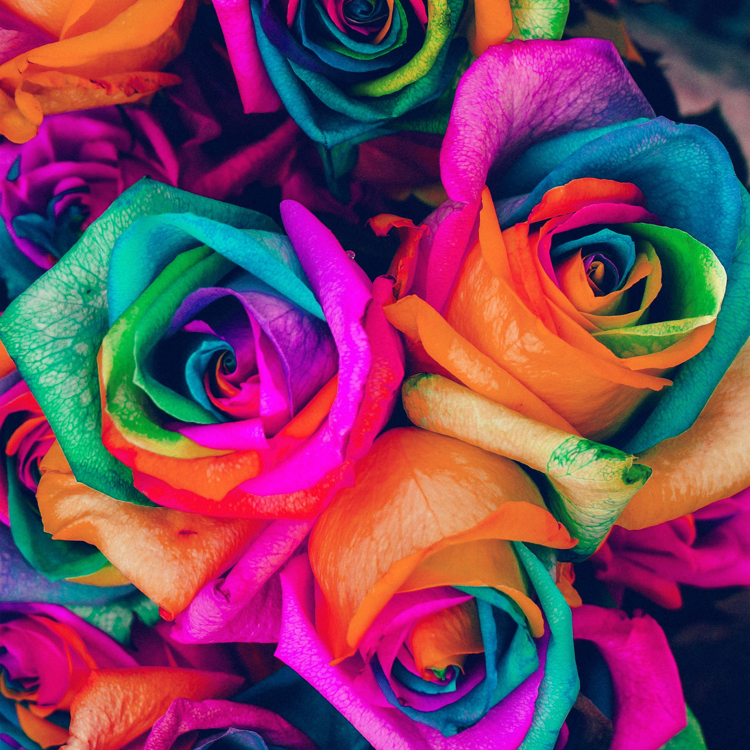 papers as99 flower rose color blue rainbow art nature 40 wallpaper