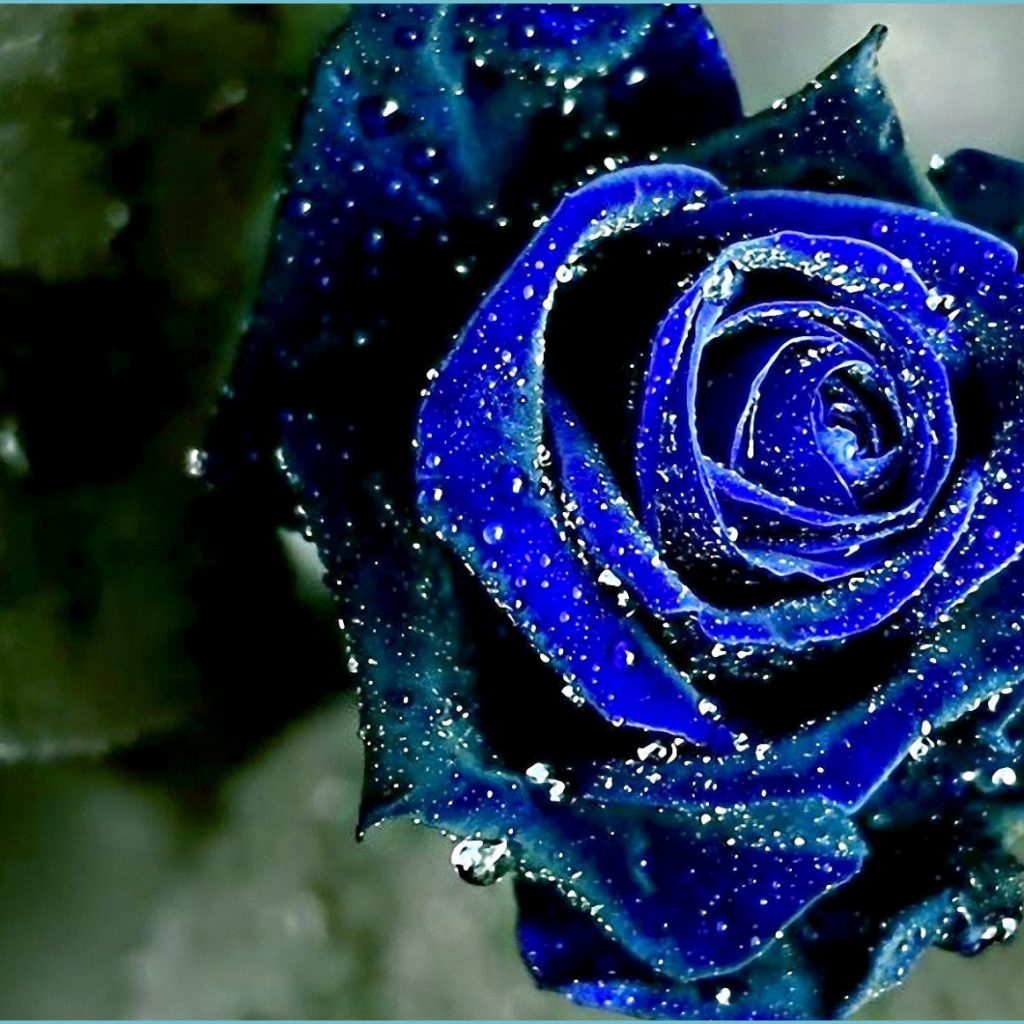 the most beautiful blue roses wallpaper rose wallpaper blue roses wallpaper 1024x1024