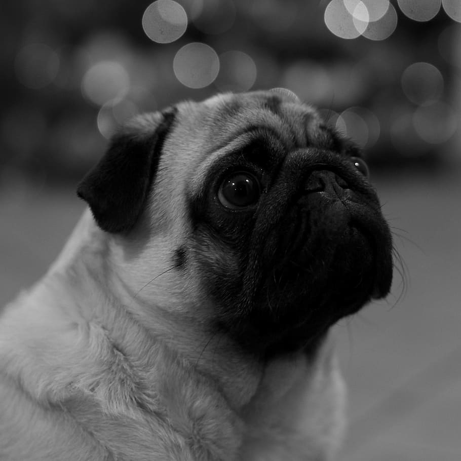 TTbiR animal black and white cute dog pet pug