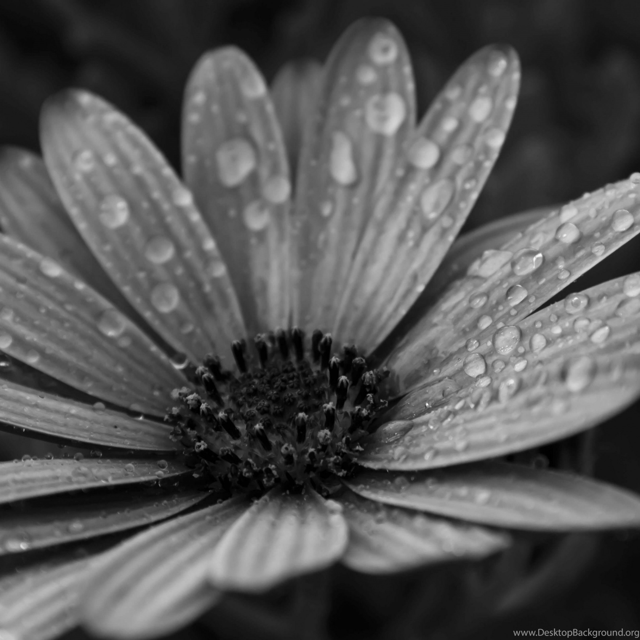 macro floral black white hd wallpapers for iphone 6 plus