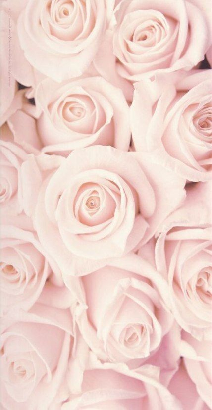 45 Beautiful Roses Wallpaper Backgrounds For iPhone