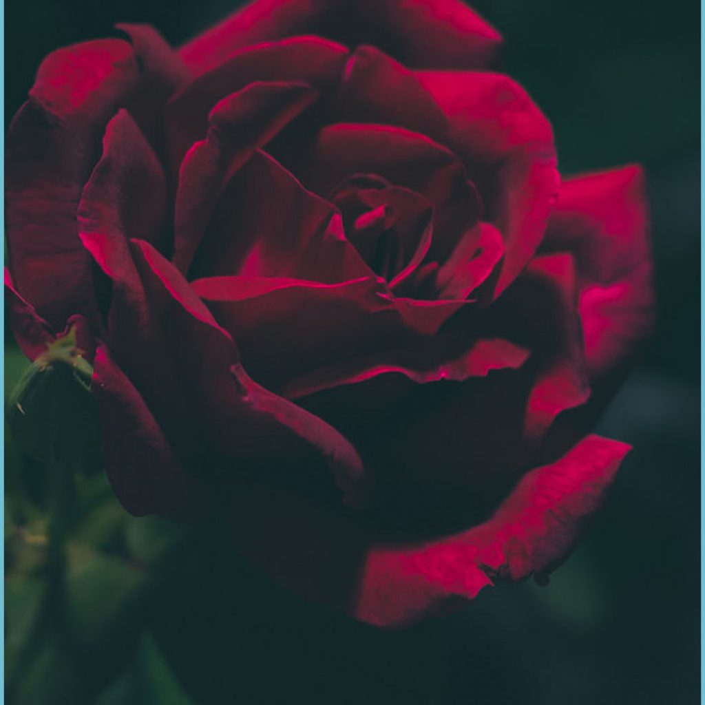 11 romantic roses iphone x wallpapers preppy wallpapers rose wallpaper iphone 1024x1024