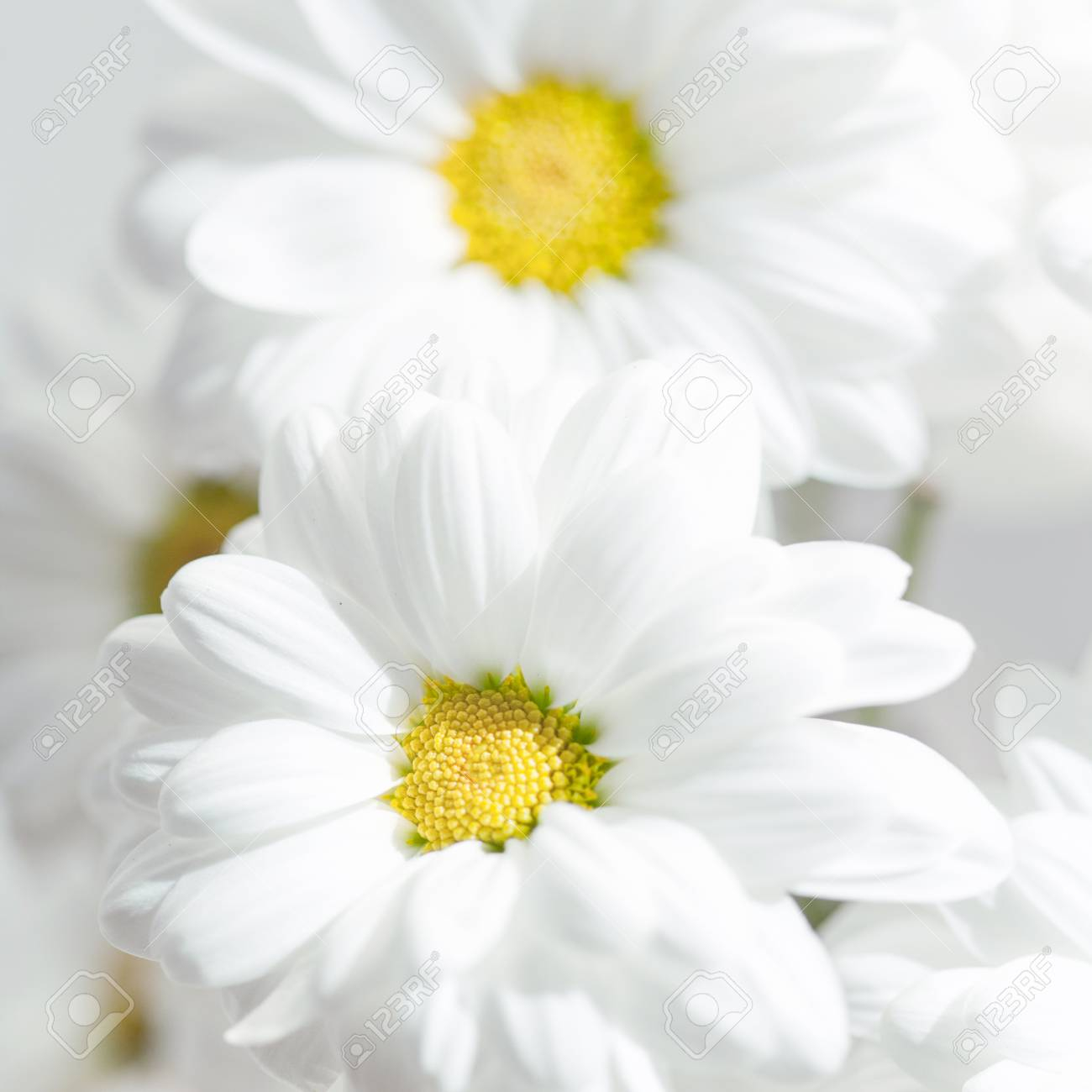spring flowers wallpaper white gerbera flower or daisy flower on grey background close up