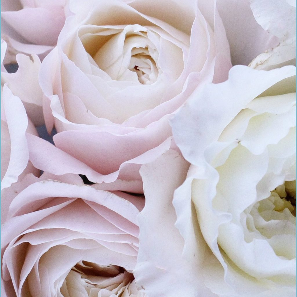 pale pink and white roses wallpaper iphone android and desktop white roses wallpaper 1024x1024