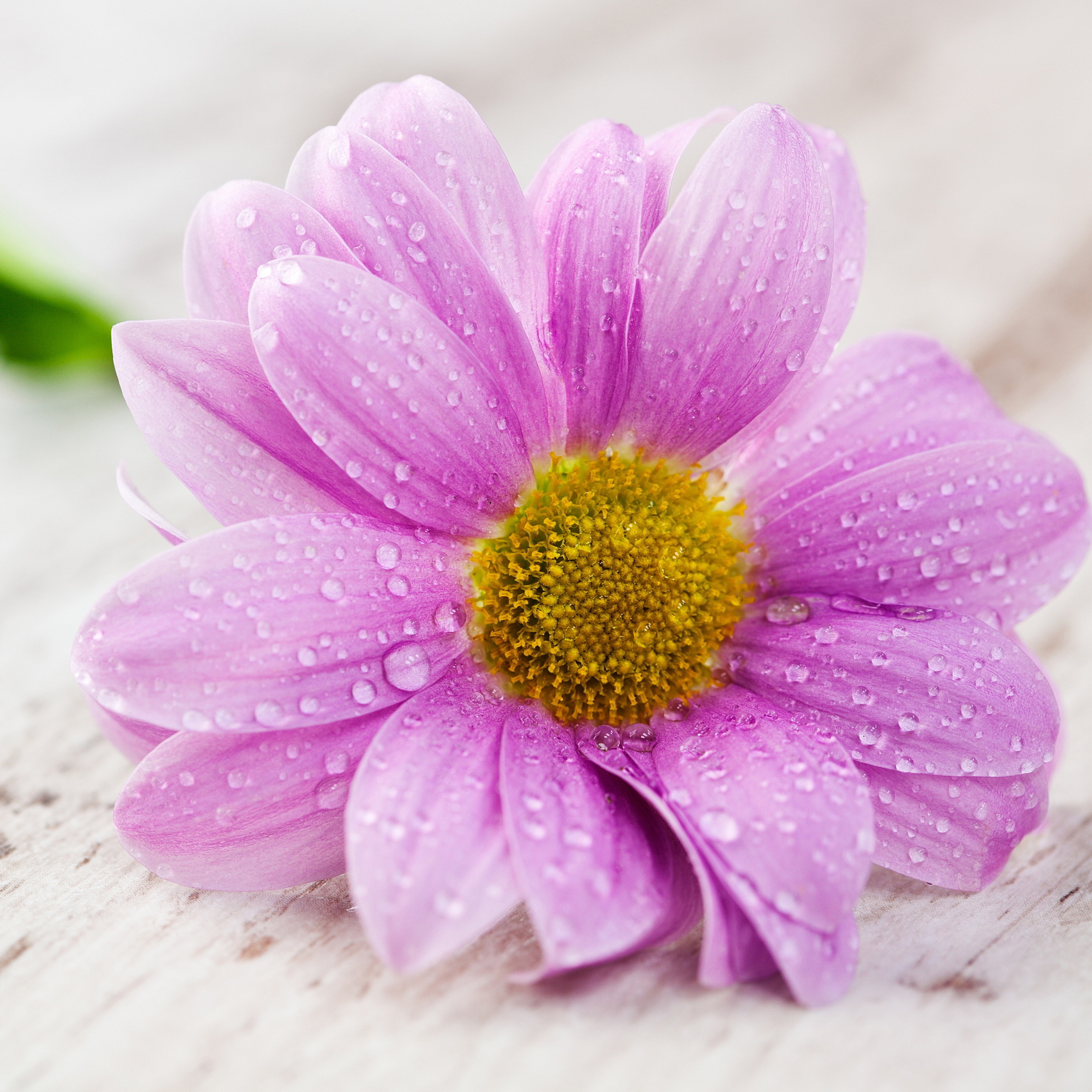 Nice Flower Pic Background for iphone and Samsung Galaxy Phones