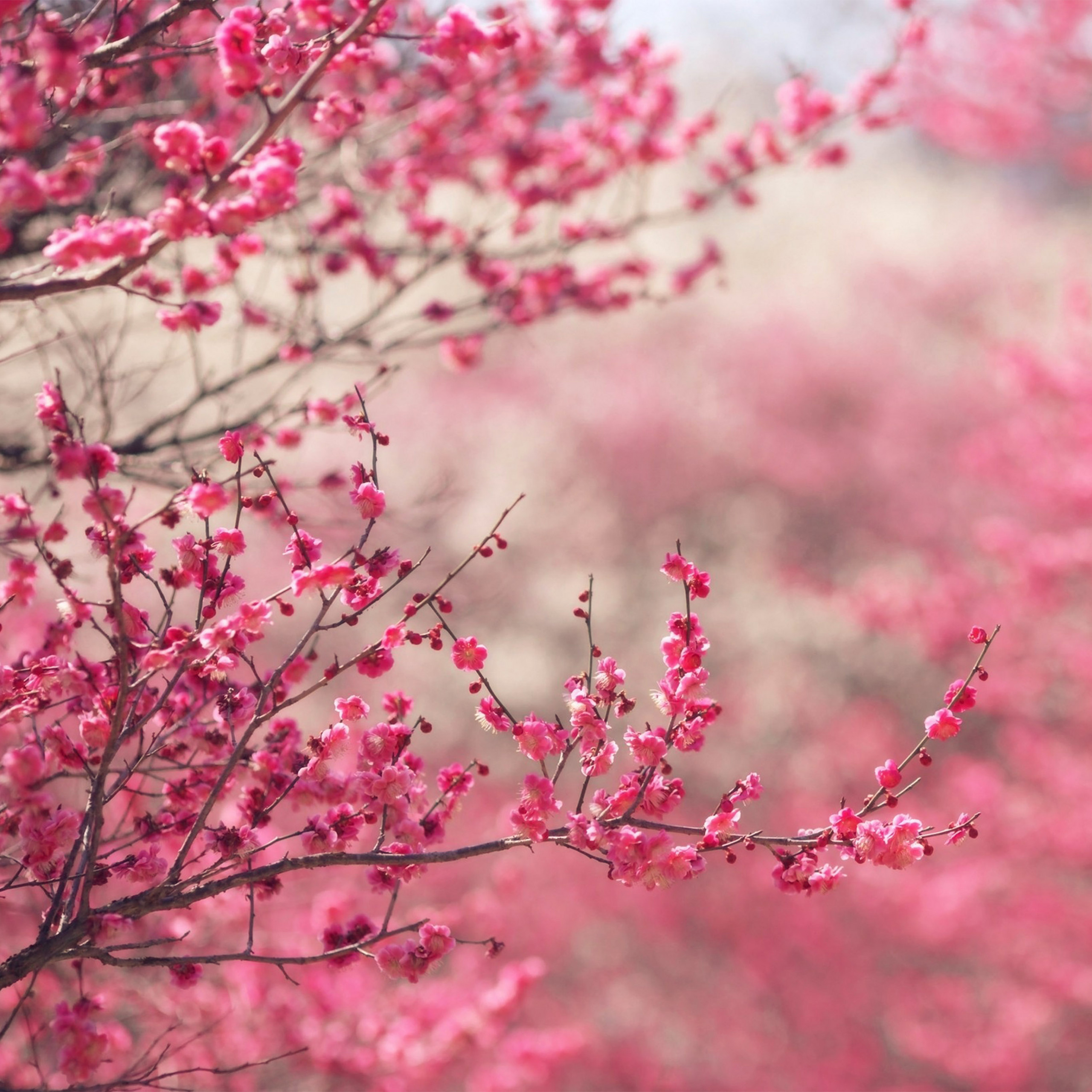 papers nf14 pink blossom nature flower spring 40 wallpaper
