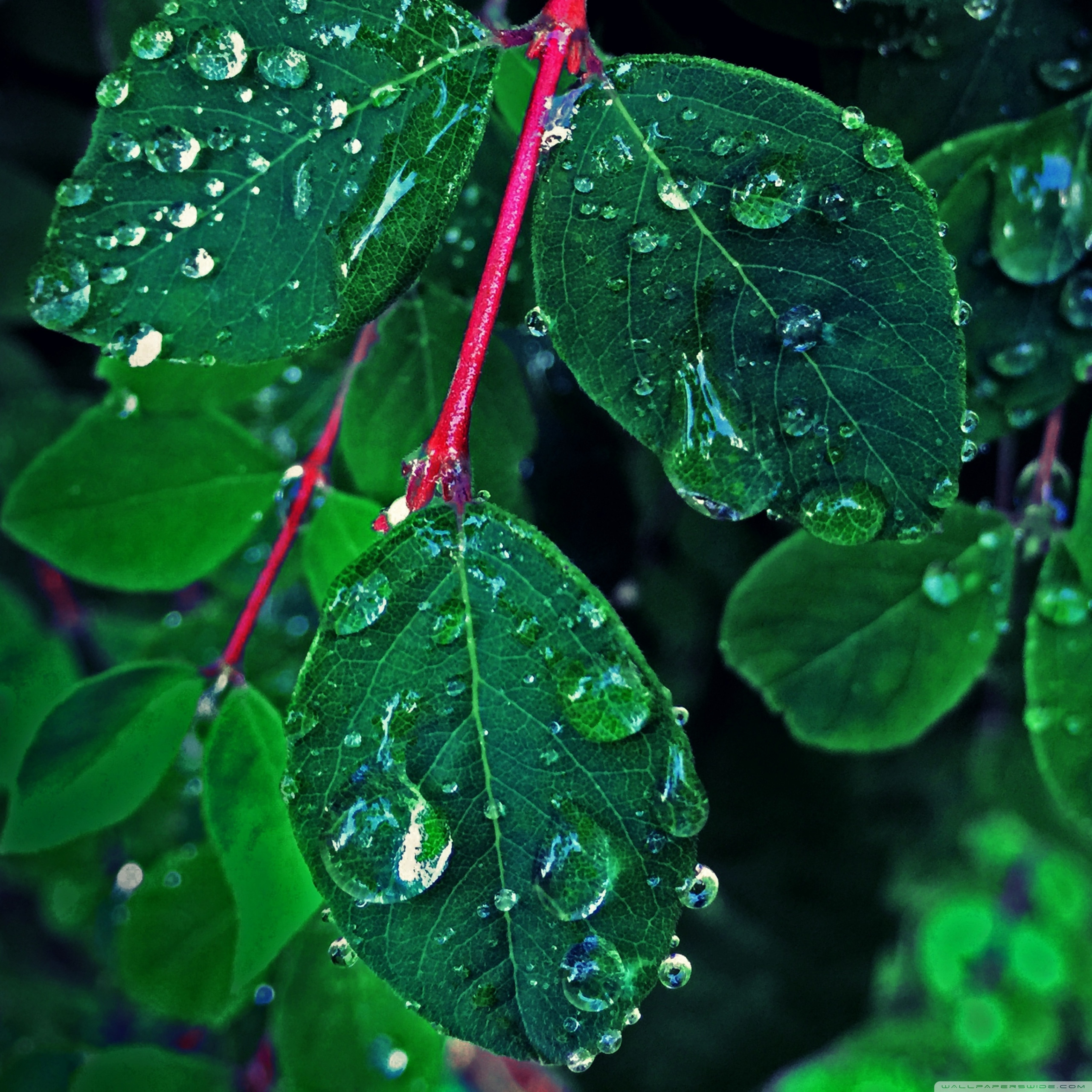 rain on the leaves wallpapers