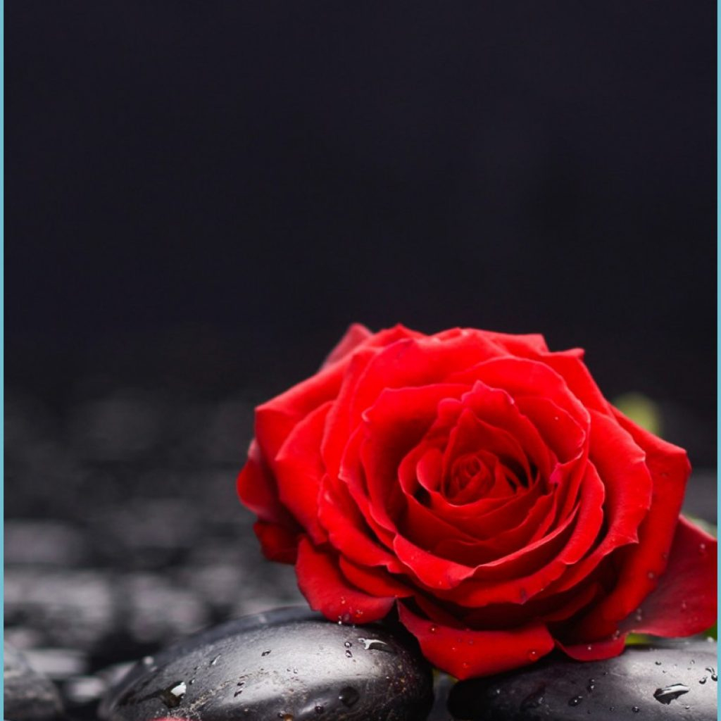 red roses and petals stones water 11x11 iphone 11 pro xs max rose wallpaper iphone 1024x1024