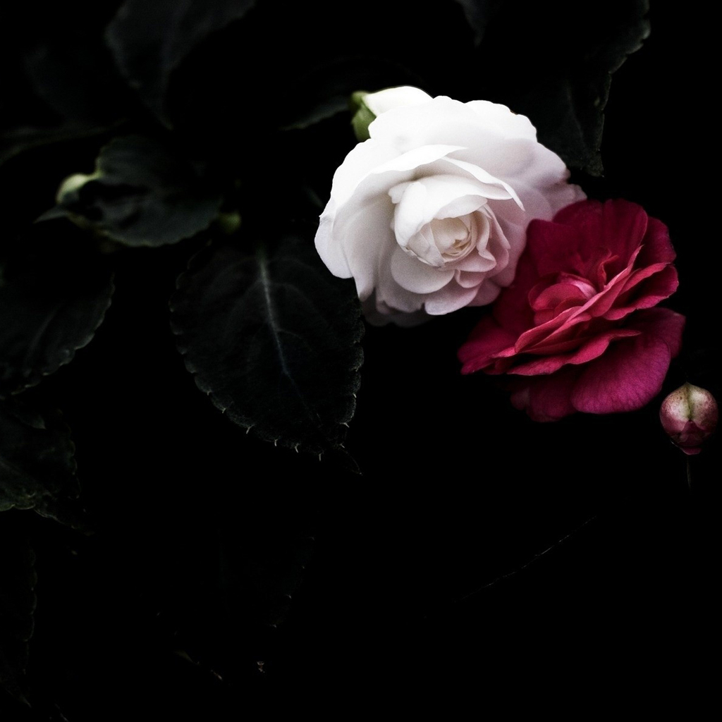 oohobm red and white rose wallpaper