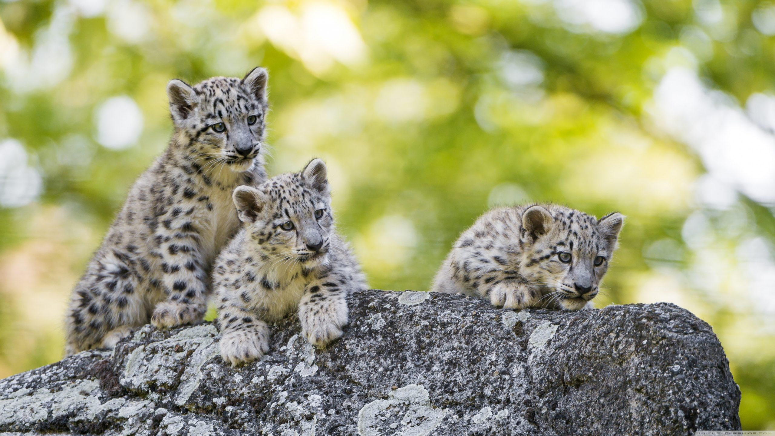 adorable snow leopard cubs wild animals wallpapers