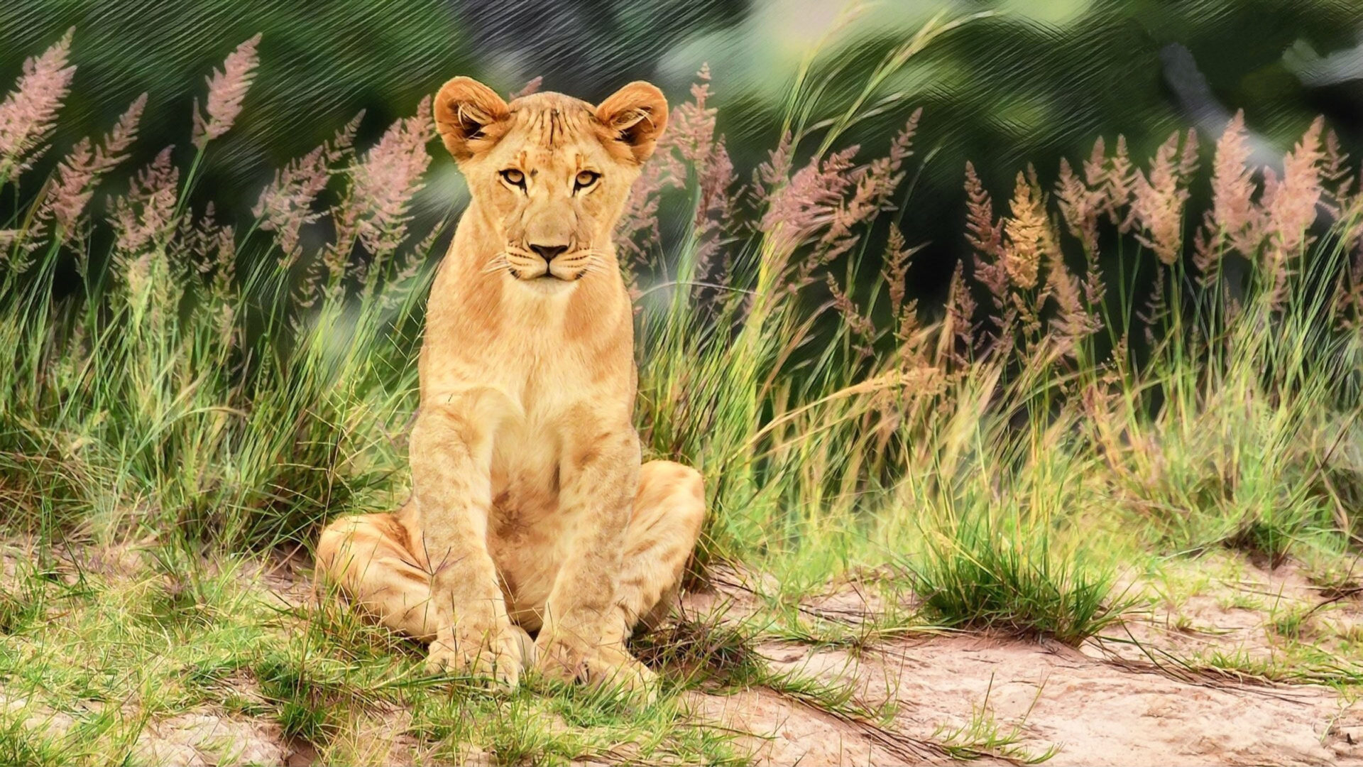wild animal young male lion 4k ultra hd tv wallpaper for desktop laptop tablet and mobile phones 3840x2160