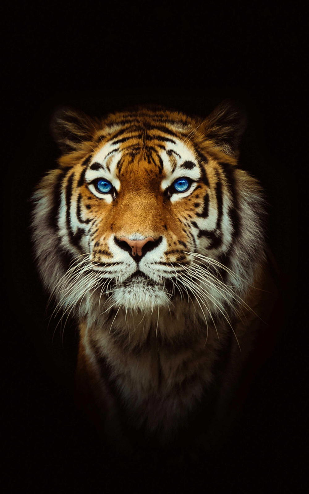 Tiger Wallpaper 4k Best Cool Tiger Wallpapers for Android APK Download