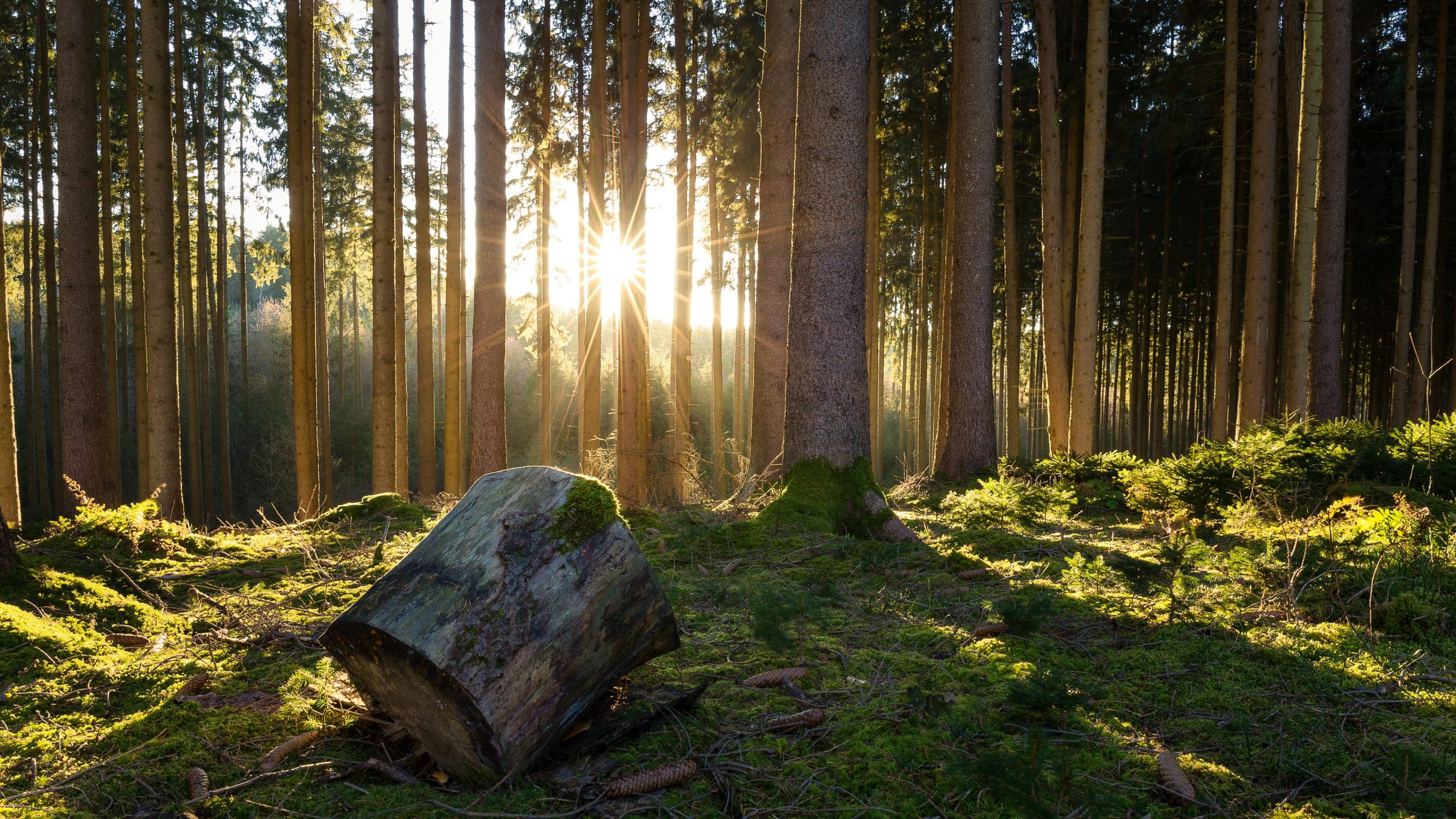 Forest trees moss sunshine morning wallpapers