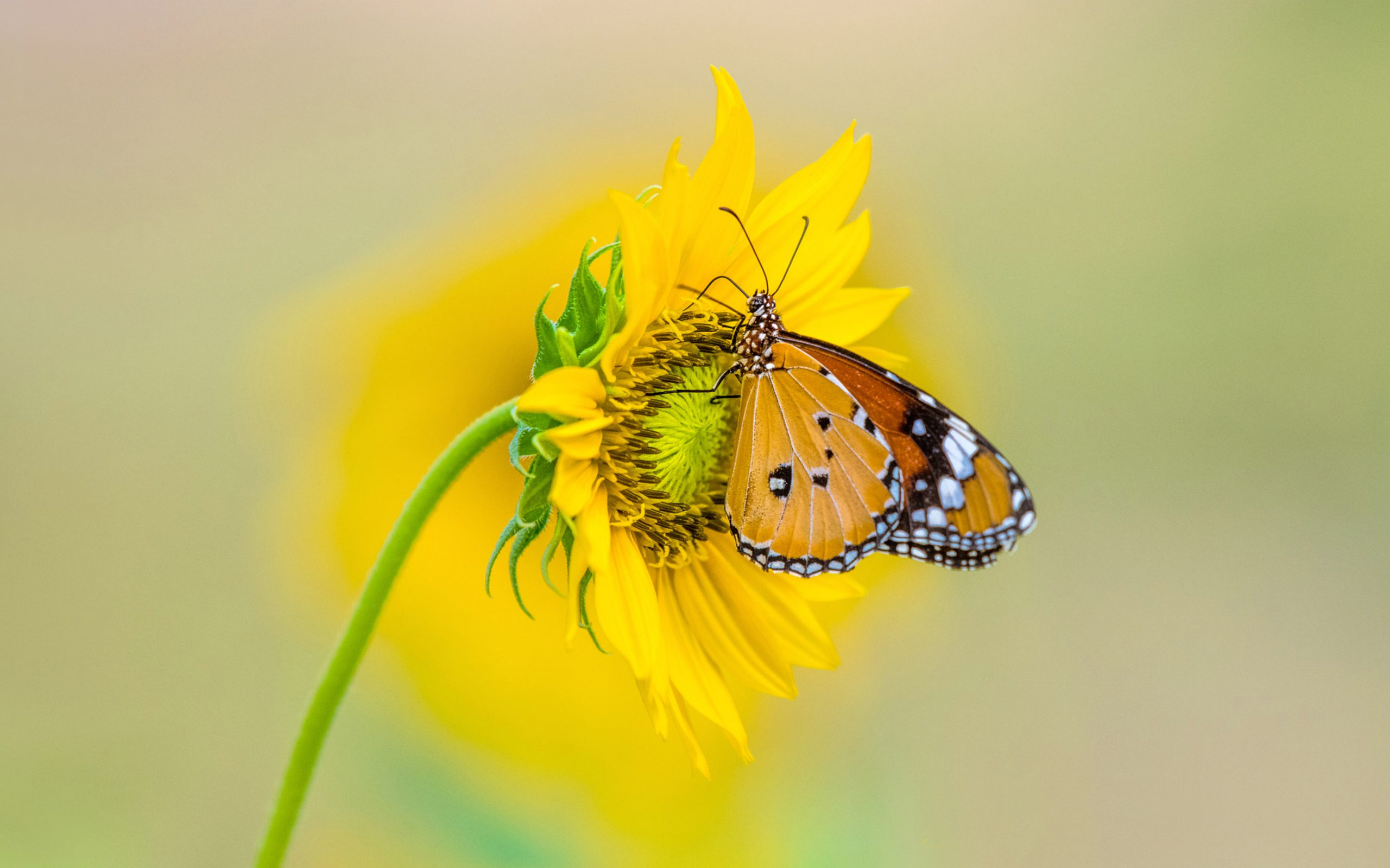 Insect Tiger Butterfly on yellow color from sunflower 4K Ultra HD TV Wallpaper for Desktop Laptop Tablet And Mobile Phones 3840x2400