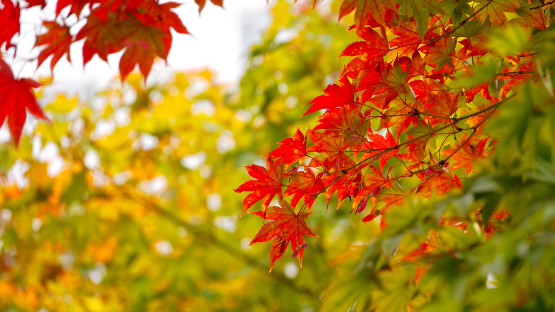 red and yellow maple leaves in autumn national symbol on canada 4k ultra hd tv wallpaper for desktop laptop tablet and mobile phones 3840x2400