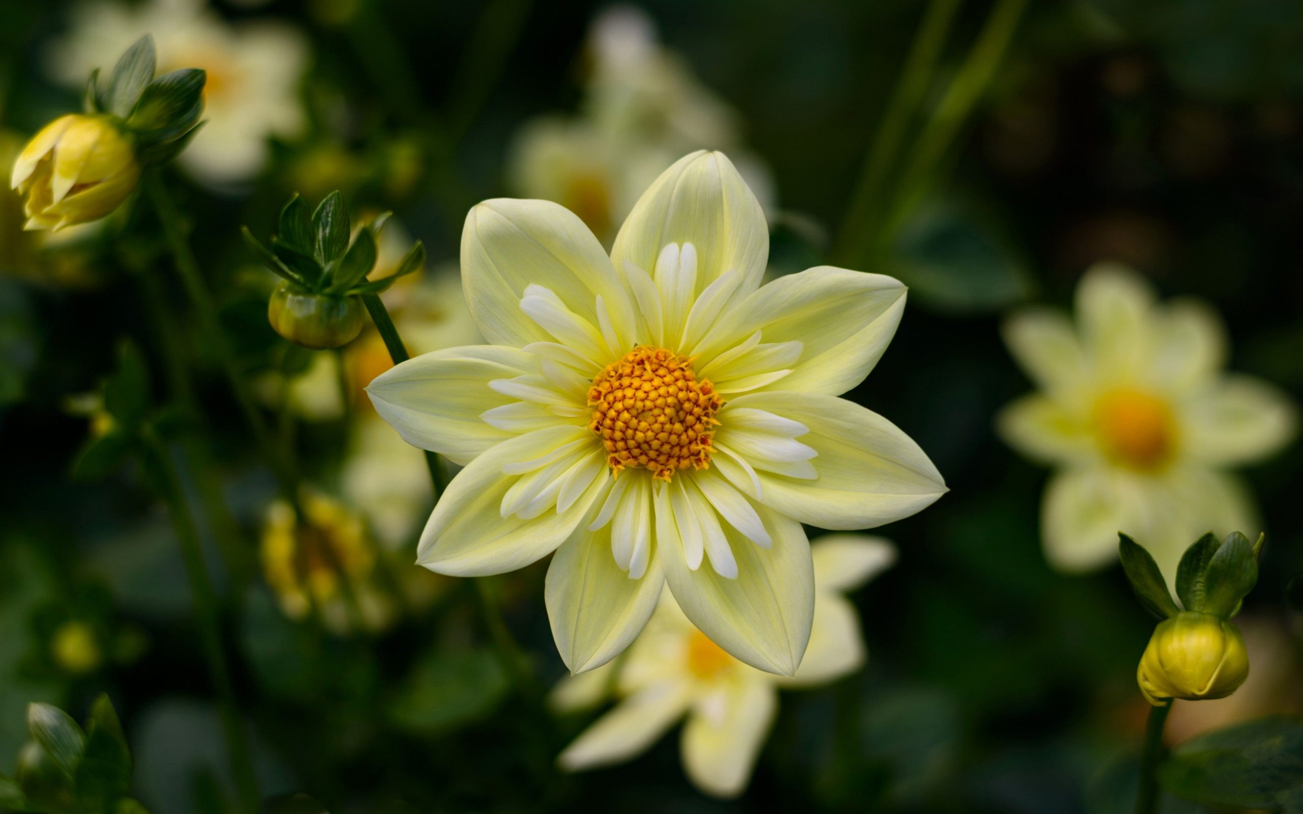 Dahlia Yellow Flowers High Quality Flower Wallpaper For Desktop puters Hd Wallpapers For 4k Ultra Hd Tv 3840×2400 • Wallpaper For You HD Wallpaper For Desktop & Mobile