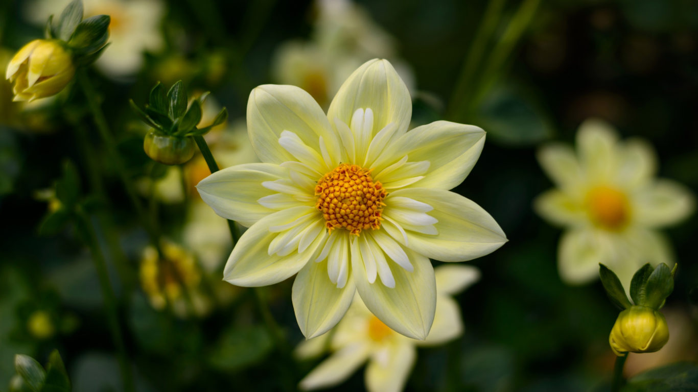 dahlia yellow flowers high quality flower wallpaper for desktop puters hd wallpapers for 4k ultra hd tv 3840x2400