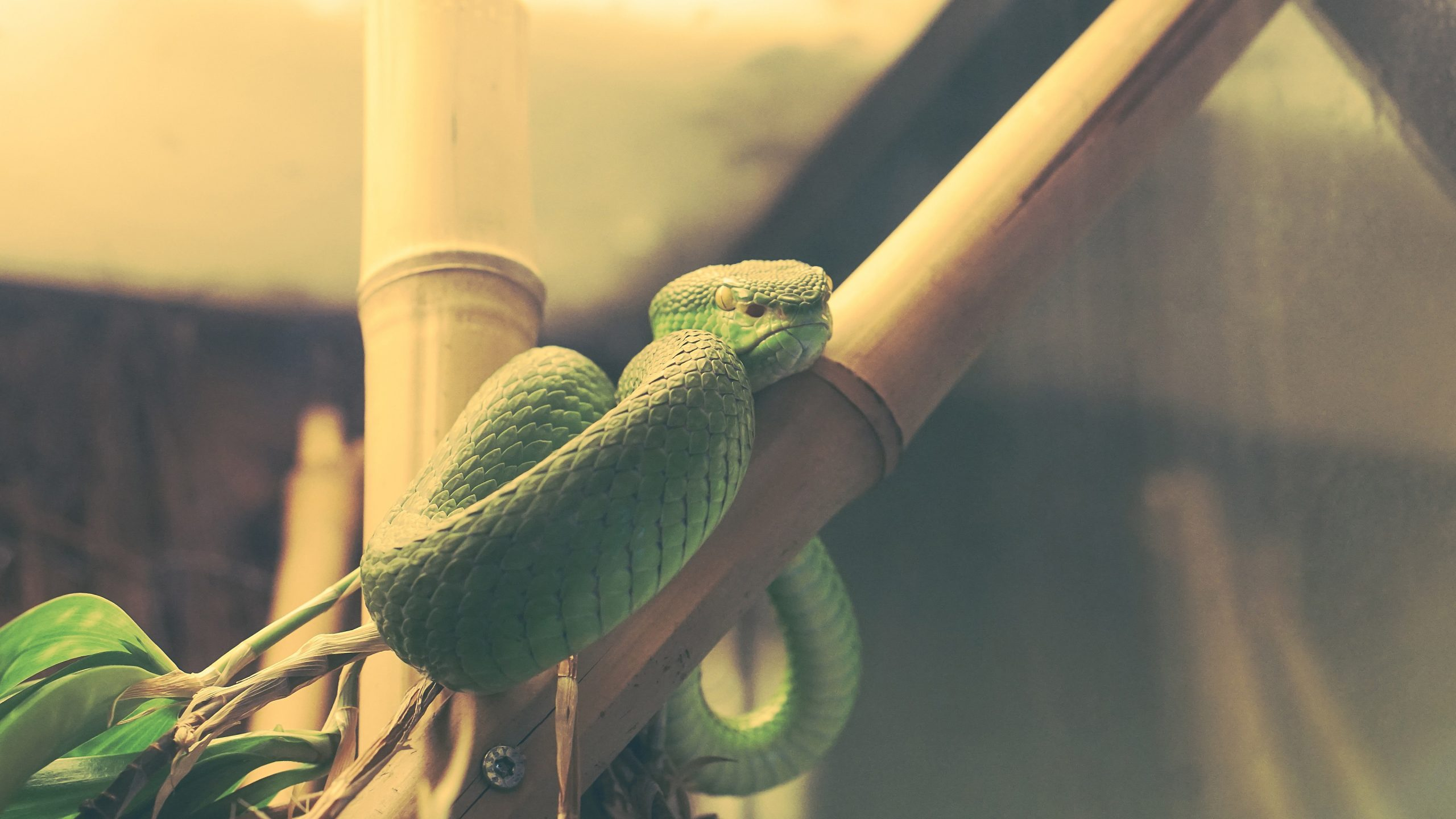 Green snake reptile wallpapers