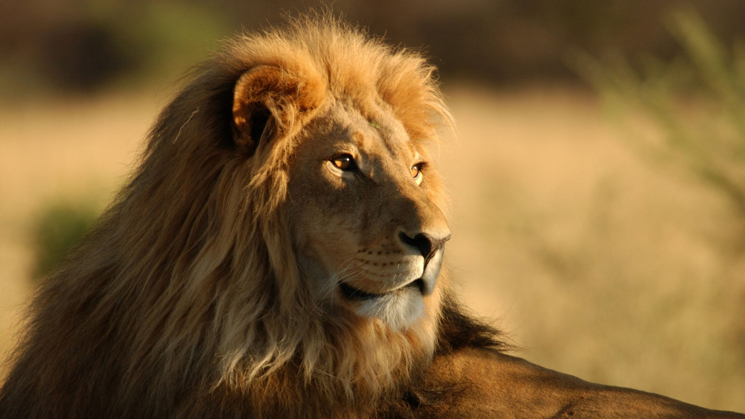 lion wallpapers 2