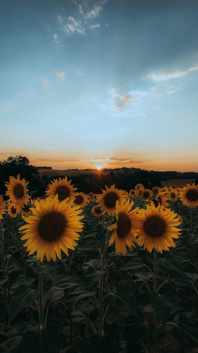 The latest iPhone11 iPhone11 Pro iPhone 11 Pro Max mobile phone HD wallpapers free sunflowers flowers yellow field sunset Free Wallpaper